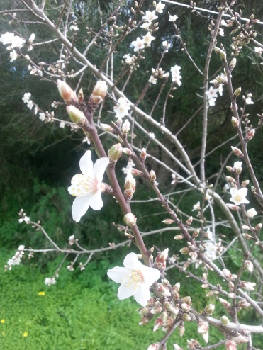 """Almond blossom - our """"snow"""" in February"""
