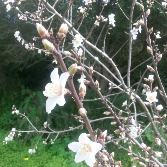 "Almond blossom - our ""snow"" in February"